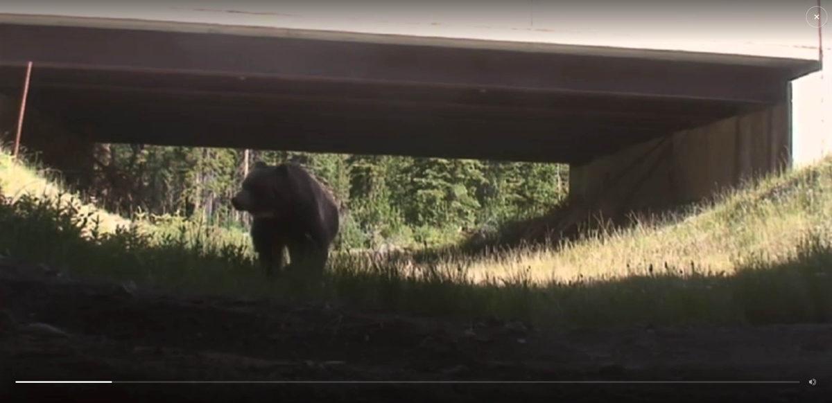 »Bear 71« – Interaktive Webdokumentation